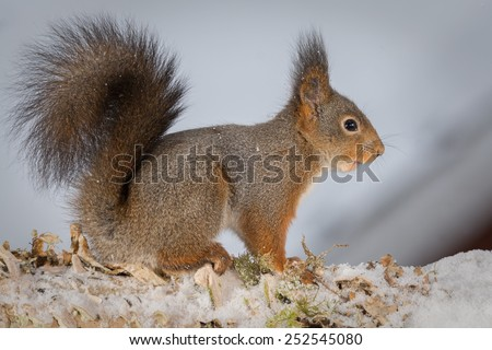 profile of red squirrel standing on tree with snow looking out
