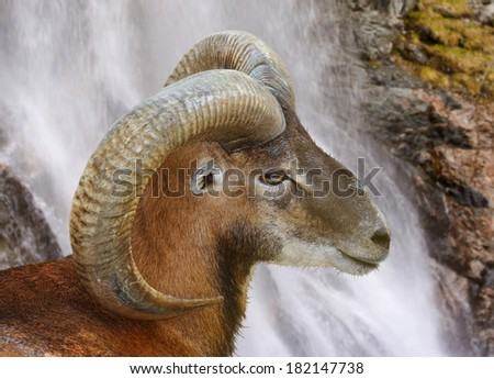 Profile of single wild sheep on the waterfall - stock photo