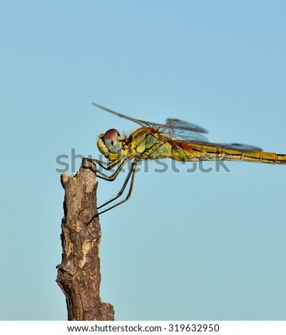 Profile of sympetrum dragonfly in balance  - stock photo