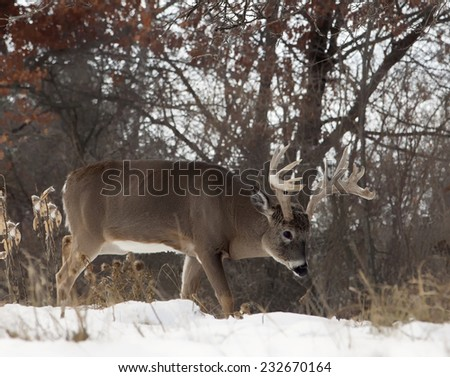 Profile of white-tailed deer buck, walking through snow.  Late autumn in Wisconsin - stock photo
