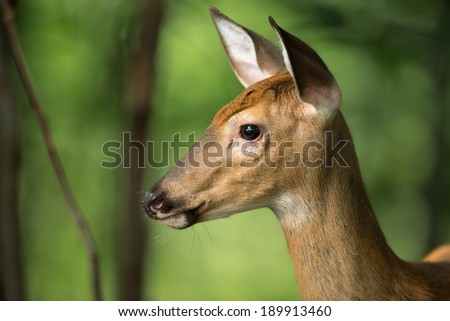Profile of whitetail deer with ears pointed forward and on alert in the woods. - stock photo