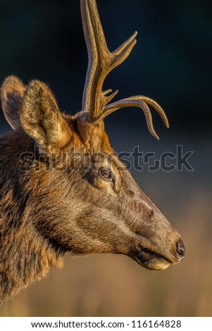 Profile of young male elk in Cataloochee, NC - stock photo