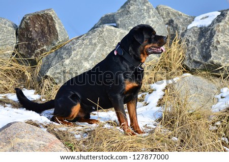 Profile portrait of a an adult Rottweiler sitting in snow in front of rocks under a blue sky in winter sunshine - stock photo