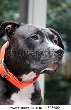 Profile portrait of a black and white pitbull posing outside - stock photo