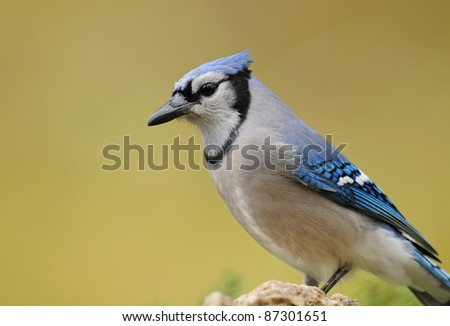 Profile portrait of a handsome blue jay