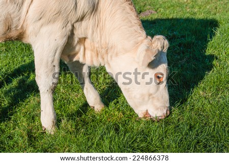 Profile portrait of a light brown cow eating fresh green blades of grass on a sunny day in the fall season.