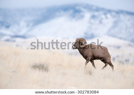 Profile portrait of a male big horn sheep (ram); full body profile; walking and facing to the left of the frame - stock photo