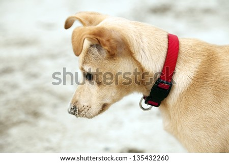 Profile portrait of a 4 months old beige female puppy wearing a red dog collar, on the blurry background of beach sand. - stock photo
