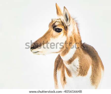 Profile Portrait of a Pronghorn in Snow