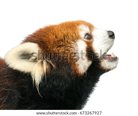 Profile Portrait of a Red Panda Against a White Background