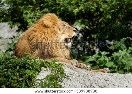 Profile portrait of African lion is resting on stone cliff at green bushes background  - stock photo
