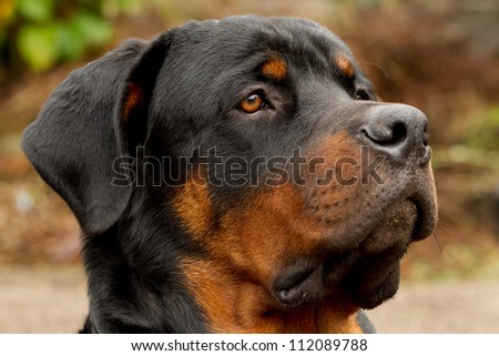 PROFILE PORTRAIT OF AN ADULT MALE PUREBRED ROTTWEILER, NARROW DOF, FOCUS ON THE EYE   - stock photo