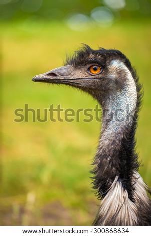 Profile portrait of Australian Emu (Dromaius novaehollandiae) - stock photo