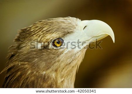Profile portrait of beautiful eagle