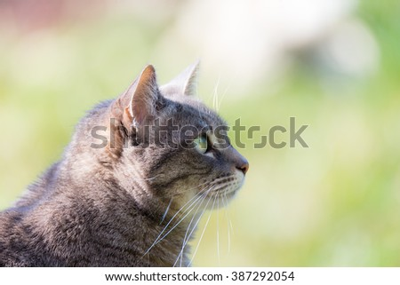 Profile portrait of grey haired cat with green eyes. Close up of snout, side view. Shot outdoors with very shallow depth of field. - stock photo