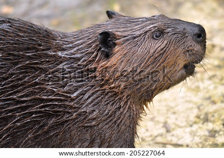 Profile portrait of North American Beaver (Castor canadensis) - stock photo