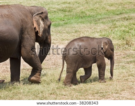Profile shot of an baby elephant followed by his mother. Horizontal.