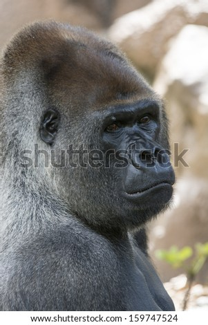 profile shot of west lowland silverback gorilla