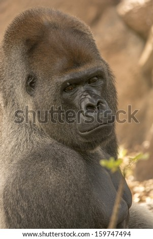 profile shot of west lowland silverback gorilla looking across shoulder