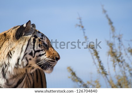 Profile View of a Asian TIger in nature and blue sky - stock photo