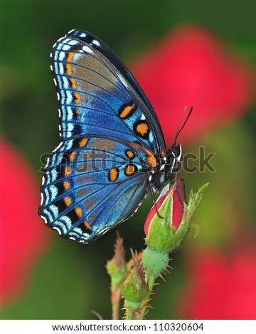 Profile view of a beautiful Red- spotted Purple butterfly (Limenitis arthemis) on a red rose bud. - stock photo