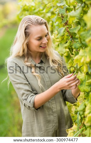 Profile view of a blonde winegrower harvesting the grapes