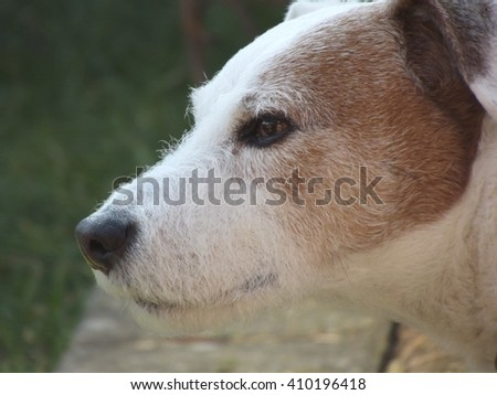 Profile view of a Jack Russell.
