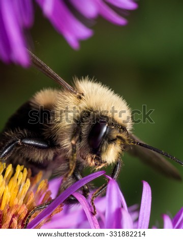 Profile view of fuzzy bumblebee covered in pollen on purple aster - stock photo