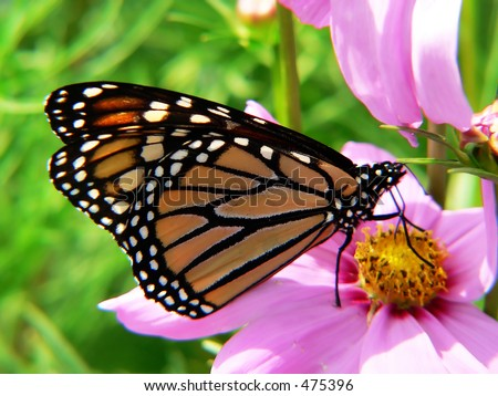 profile view of monarch butterfly - stock photo