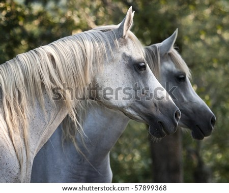 Profiles of mother and daughter Arabian horses - stock photo