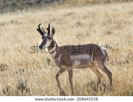Pronghorn Antelope - stock photo