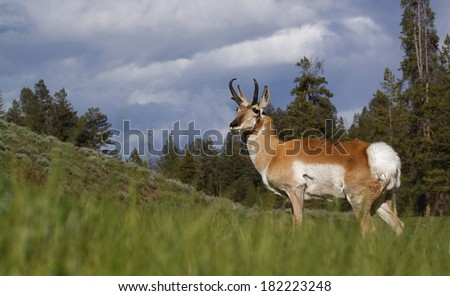Pronghorn Antelope, antilocapra americana, standing in prairie grasslands at the forest edge, with blue sky and clouds in the background, in Yellowstone National Park - stock photo