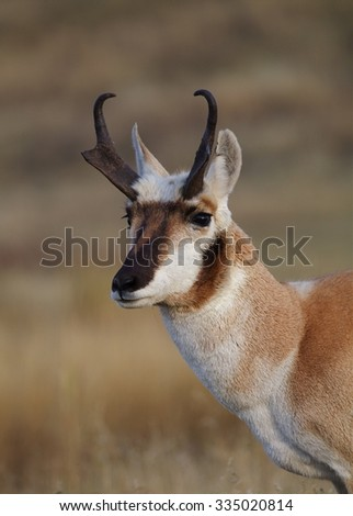 Pronghorn Antelope, Antilocapra americana, the fastest mammal in North America close up portrait of a horned buck antelope  - stock photo