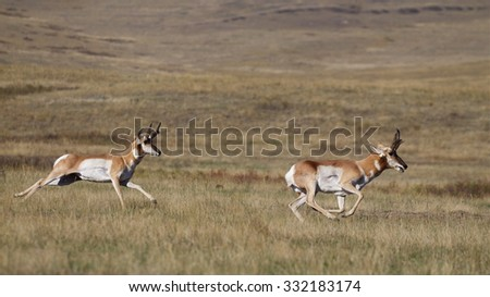 Pronghorn Antelope, Antilocapra americana, the fastest mammal in North America, two bucks running at high speed across the prairie - stock photo