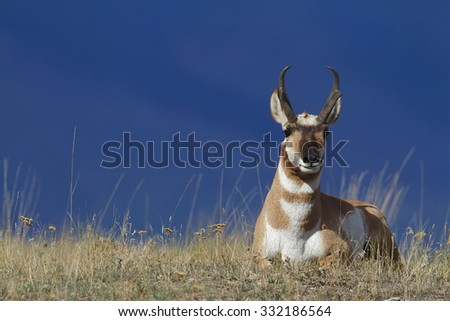 Pronghorn Antelope bedded and resting on the prairie, with the bluish tones of the forested Rocky Mountain slopes in the background. Antilocapra americana, the fastest mammal in North America