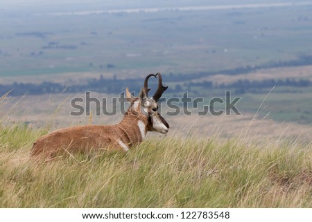 Pronghorn Antelope bedded with view of countryside - stock photo