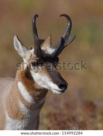 Pronghorn Antelope buck, Flathead Indian Reservation, Montana; big game hunting; stag; deer; wildlife - stock photo