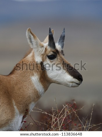 Pronghorn Antelope buck that has shed his horns, revealing the underlying antler sheaves; Flathead Indian Reservation, Montana - stock photo