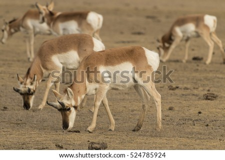 Pronghorn antelope in Yellowstone National Park, Wyoming.