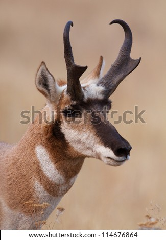 Pronghorn Antelope on the prairie, detailed close up portrait; big game hunting montana - stock photo