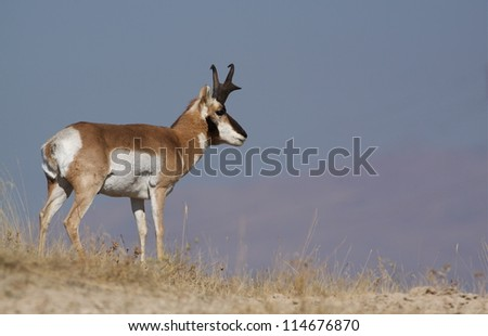 Pronghorn Antelope on the prairie with big blue sky; big game hunting montana - stock photo
