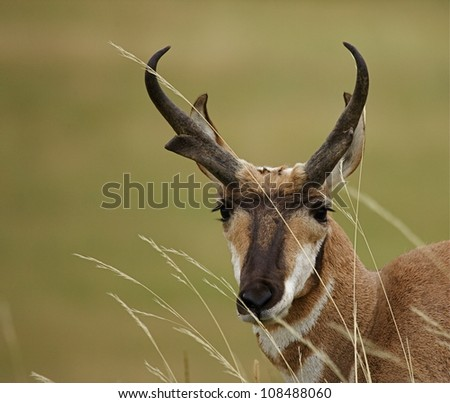 Pronghorn antelope portrait, with prairie grasses blowing in the wind - stock photo