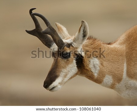 Pronghorn Buck, highly detailed close-up portrait - stock photo