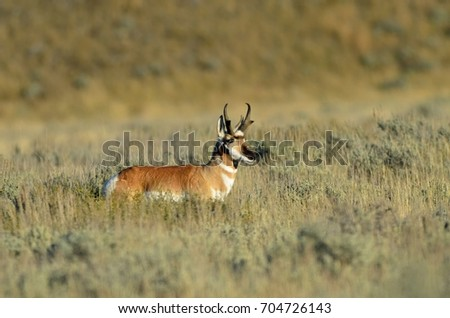 Pronghorn buck looking for the herd