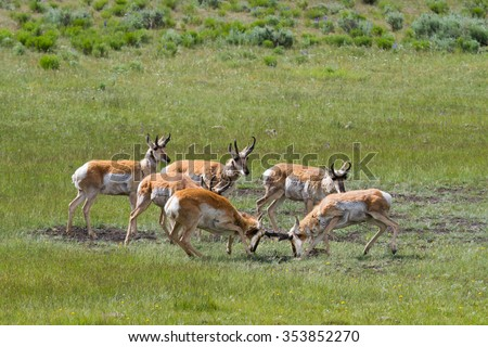 pronghorn bucks spar and rut while other antelope watch, green background in yellowstone park - stock photo