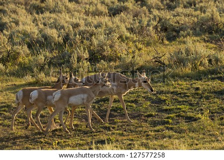 Pronghorn in Lamar Valley Yellowstone - stock photo