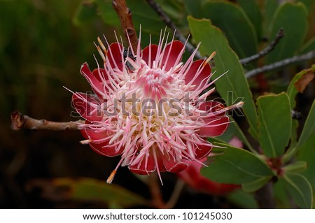 Protea Caffra, the Common Sugar Bush, a small tree growing on the mountains in the Marakele National Park, Limpopo, South Africa - stock photo
