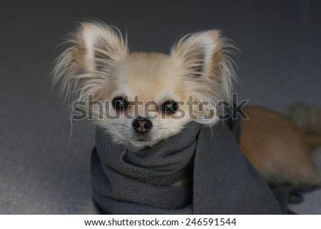 Protect your dog from cold in winter, portrait of longhair chihuahua wearing a scarf - stock photo