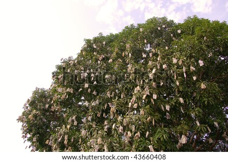 Protected fruits in a mango tree