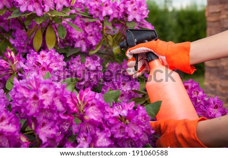 Protecting azalea plant from fungal disease or aphid, gardening concept  - stock photo
